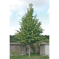 Alun turcesc (Coryllus colurna)