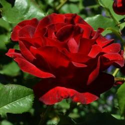 Trandafir teahibrid Dame de Coeur