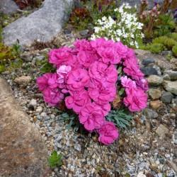 GAROFITE (Dianthus gr.Badenia)