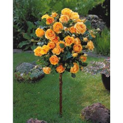 Trandafir pomișor Doris Tysterman