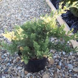 IENUPĂR (Juniperus EXPANSA VARIEGATA)