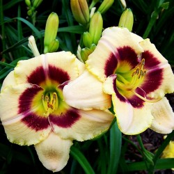 HEMEROCALLIS CUSTARD CANDY