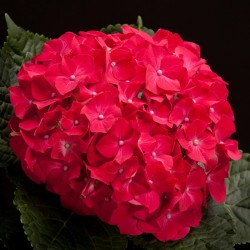 Hortensie HOT RED