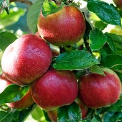 Măr Idared