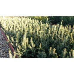 Pachet 10buc. Puiet Molid Argintiu (Picea Pungens Glauca)