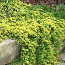 IENUPĂR TÂR'TOR (Juniperus GOLDEN CARPET)