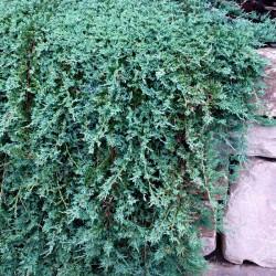 Ienupar tarator (Juniperus horizontalis glauca)