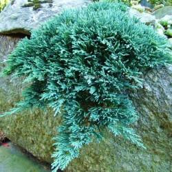 IENUPĂR TÂRÂTOR (Juniperus  ICEE BLUE )
