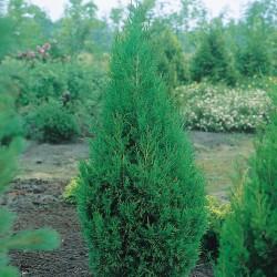 Ienupar (Juniperus Spartan)