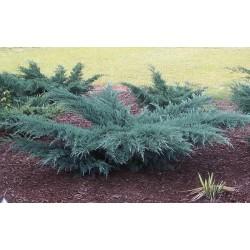IENUPĂR (Juniperus GREY OWL)