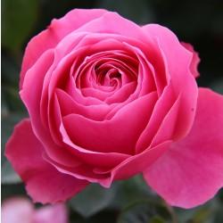 Trandafir pomișor Kimono