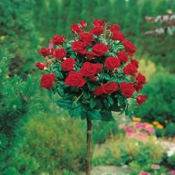 Trandafir pomișor Lucky