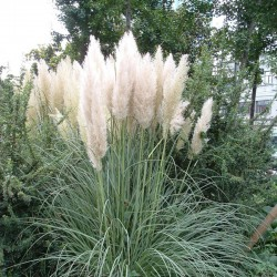 IARBA DE PAMPAS (Cortaderia selloana White Feather)