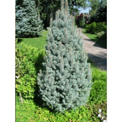 MOLID Columnar (Picea pungens Iseli Fastigiata