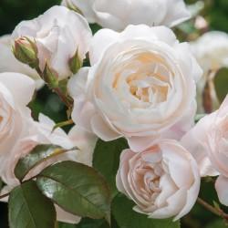 Trandafir de parc Cristal