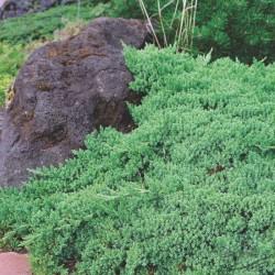 Ienupar tarator (Juniperus PROCUMBENS)