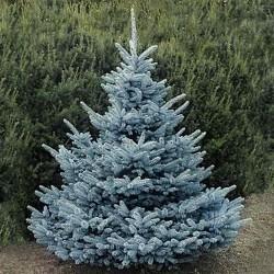 Răsad Molid Argintiu (Picea Pungens Glauca)