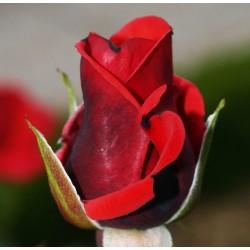 Trandafir teahibrid Queen of Bermuda