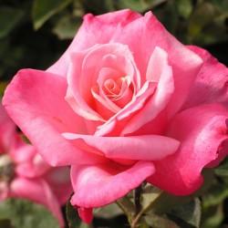 Trandafir teahibrid Queen of England