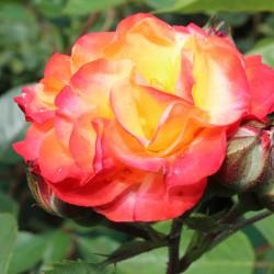 Trandafir de parc Rumba