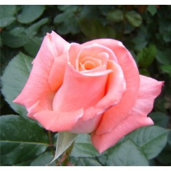 Trandafir teahibrid Silvinetta
