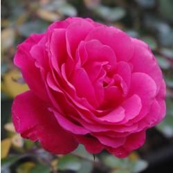 Trandafir de parc Tom Tom