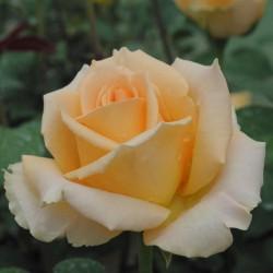 Trandafir pomișor Versilia