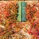Viţă sălbatică (Parthenocissus tricuspidata Veitchii)