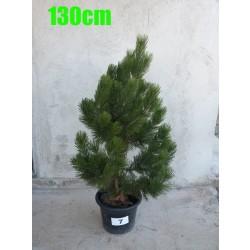Pin Bosnian NR. 007 (Pinus Leucodermis)