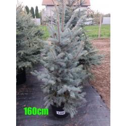 Molid Argintiu Hoopsii NR. 106 (Picea Pungens Hoopsii)