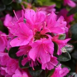 Azalee (Rhododendron)  Geisha Purple