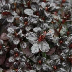 Azalee (Rhododendron) Canzonetta