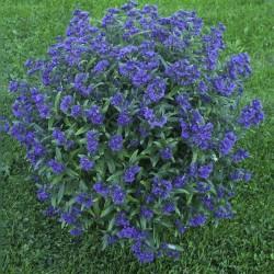 Barba Albastra (Caryopteris GRAND BLUE)
