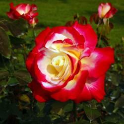 Trandafir teahibrid Double Perfume