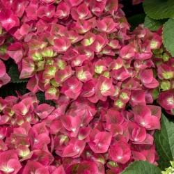 Hortensia macrophylla Grünes Gewölbe