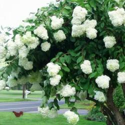 Hortensie Grandiflora