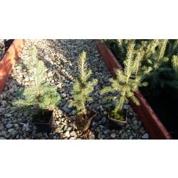 Pachet 20buc. Puiet Molid Argintiu (Picea Pungens Glauca)