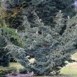 IENUPĂR (Juniperus Meyeri) 80-100cm