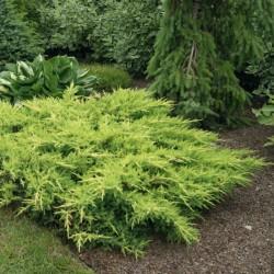 IENUPĂR (Juniperus MORDIGAN AUREA)