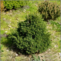 MOLID  TOMPA (Picea abies Tompa)