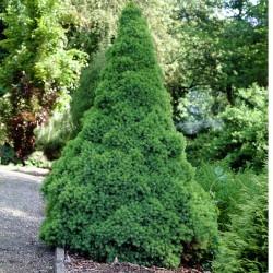 Picea glauca CONICA