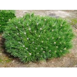 PIN PITIC (Pinus nigra Brepo)
