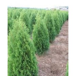 Thuja occidentalis ZÁKÁNY SÖVÉNY
