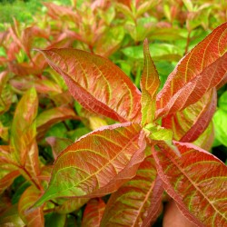 Weigela WINGS OF FIRE