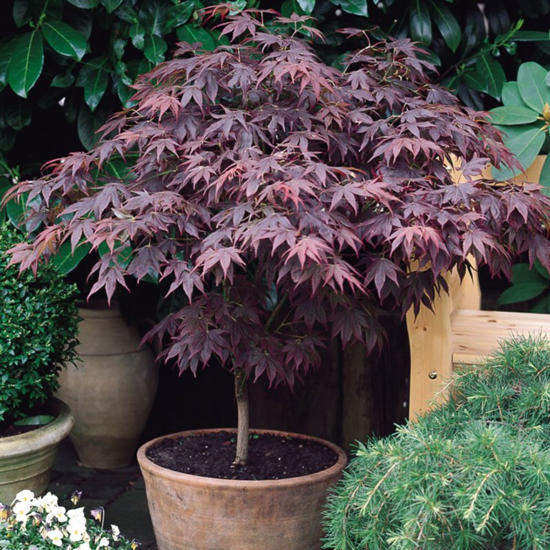 artar japonez rosu acer palmatum atropurpureum 80. Black Bedroom Furniture Sets. Home Design Ideas