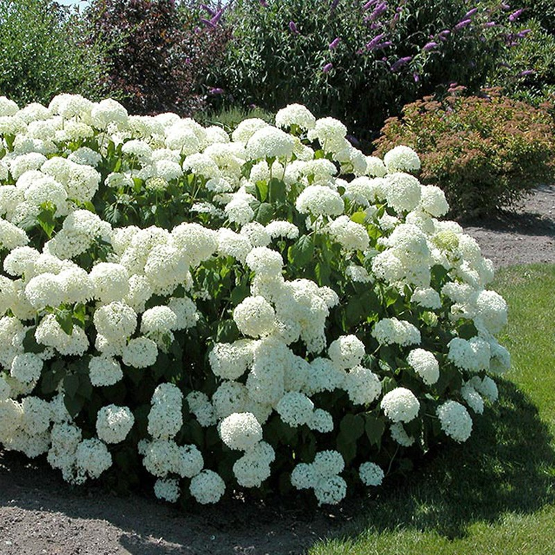 hortensie hydrangea arborescens annabelle 30 40cm. Black Bedroom Furniture Sets. Home Design Ideas