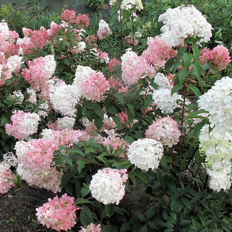 hortensie vanilie fraise 30 40cm veky garden. Black Bedroom Furniture Sets. Home Design Ideas