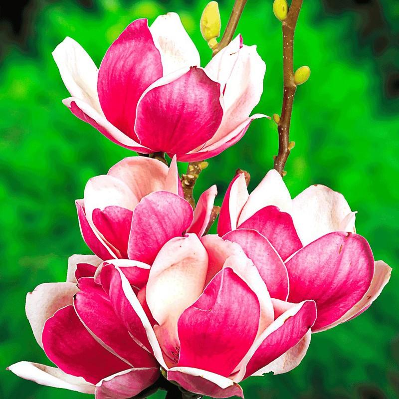 Magnolia soulangeana satisfaction 50 70 cm veky garden for Arbusti ornamentali