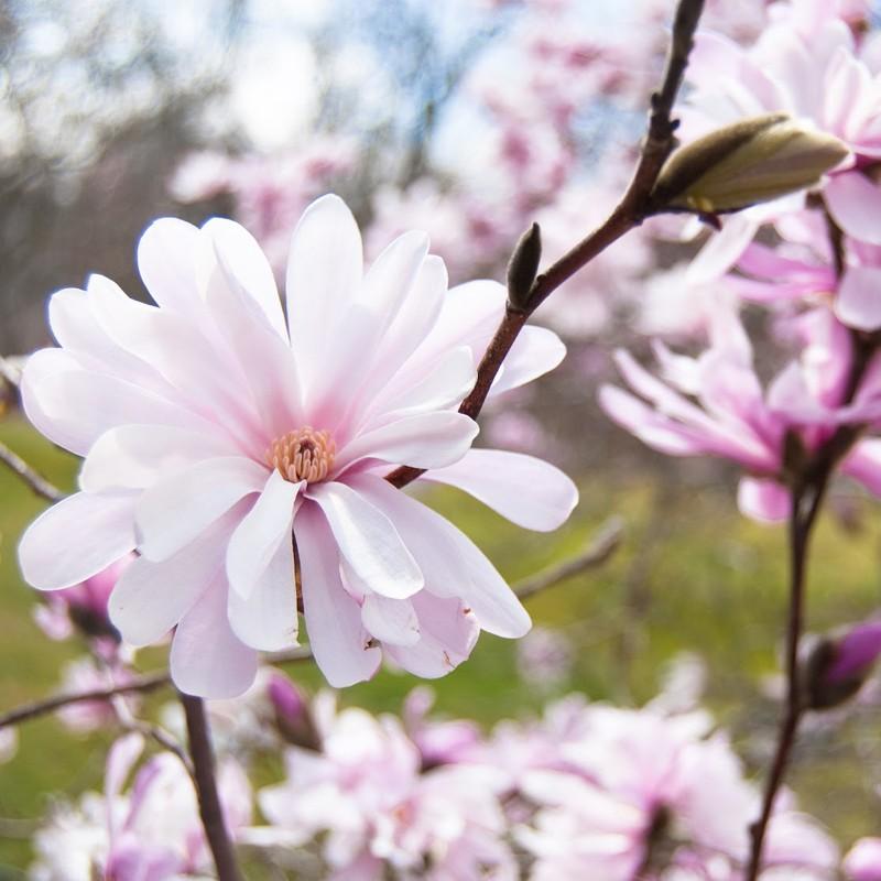 magnolia stellata royal star 60 80cm veky garden. Black Bedroom Furniture Sets. Home Design Ideas