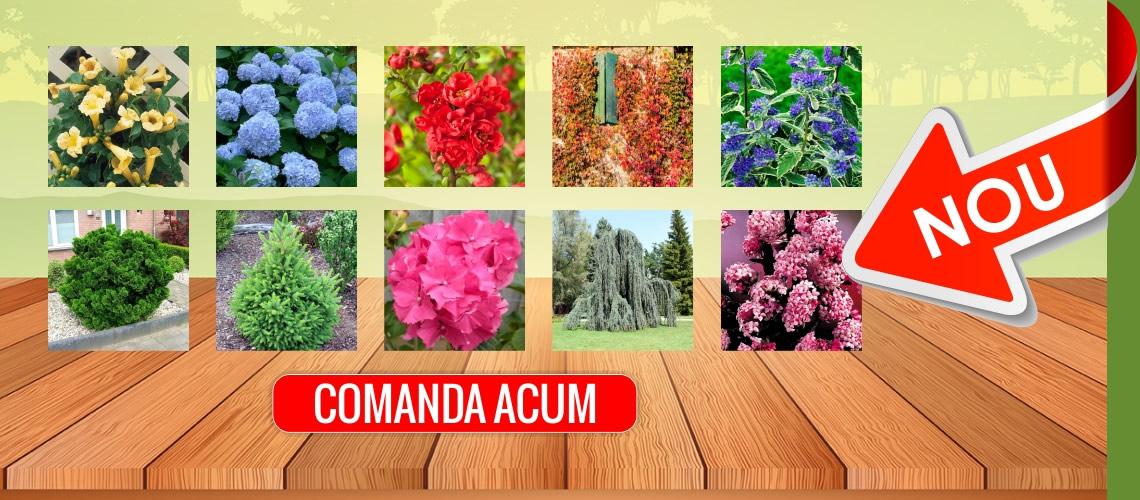 Magazinul online se imbogateste cu peste 100 de specii de conifere, arbusti, plante cataratoare, arbori ornamentali si butasi de trandafiri!